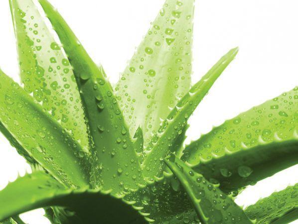 Combata El Acné Con 4 Plantas Medicinales Tendencias Opinión Bolivia