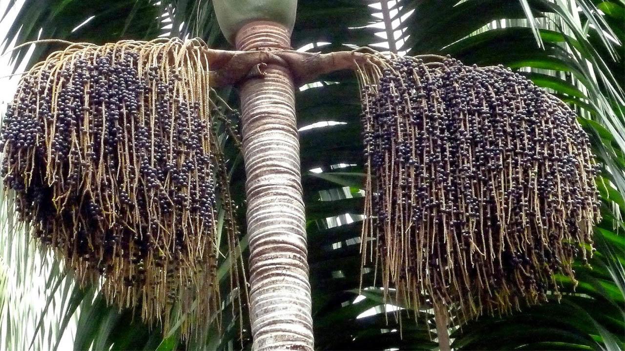 Sugieren potenciar el aprovechamiento de asaí en la Amazonía para reducir la pobreza - El País - Opinión Bolivia